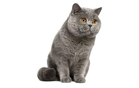 Amerikas īsspalvainais Kaķis - Foto Kolekcija