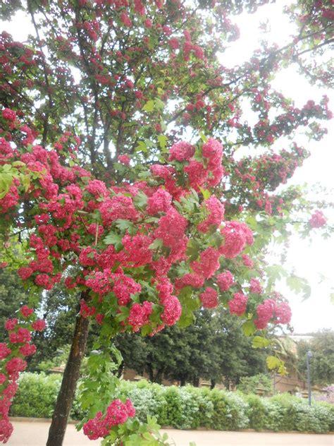 alberi con fiori rosa la finestra di stefania come si chiama albero dai fiori
