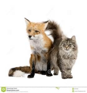 is a fox a or cat a fox and a cat stock images image 6610494