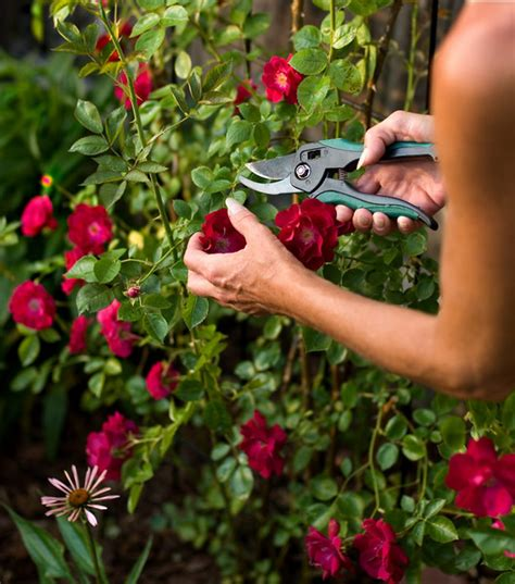 trimming roses countrywide july 2016 plantinfo everything and anything about plants in sa