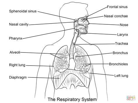 Human Respiratory System Diagram Unlabeled  Organ Anatomy