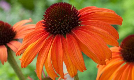 tangerine coneflower plant of the week echinacea tangerine dream life and style the guardian