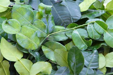 lime leaves kaffir lime leaves a controversial name for a flavorful herb spiceography