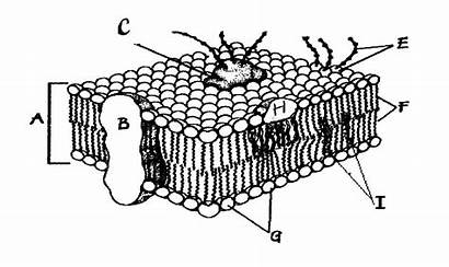 Membrane Cell Diagram Biology Label Answer Key