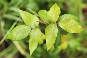 Hapten Sciences To Begin Clinical Trials For Poison Ivy