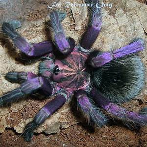 Purple Bloom Tarantula Facts