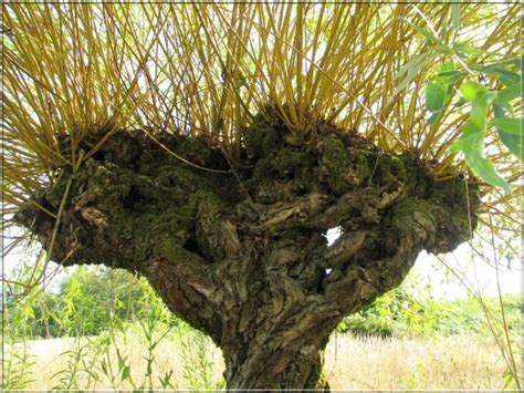 Tête de saule têtard   Tree, Salix, Plants