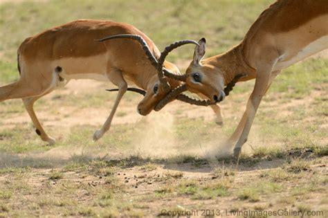 battle  impalas africa geographic