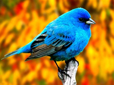 blue bird pixdaus