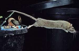 Was Fressen Ratten : leinfelden echterdingen ratten fressen lieber maultaschen als gift landkreis esslingen ~ One.caynefoto.club Haus und Dekorationen