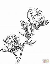 Peony Coloring Line Drawing Flowers Printable Getdrawings sketch template