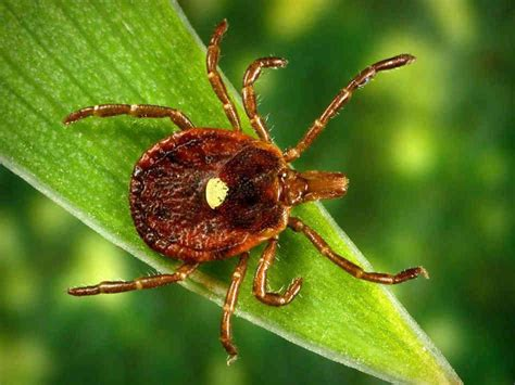 Image result for lone star tick