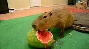 Capybara eating half a watermelon Full Video - YouTube