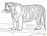 Colorare Disegni Tigre Tiger Coloring Bengal Bianca Supercoloring Disegno Stampare Disegnare Immagini sketch template