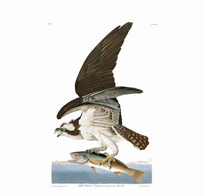 Hawk Fish Birds Animal Memes America Osprey