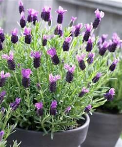 Lavendel Schneiden Im Herbst : schopflavendel von bakker auf kaufen ~ Lizthompson.info Haus und Dekorationen