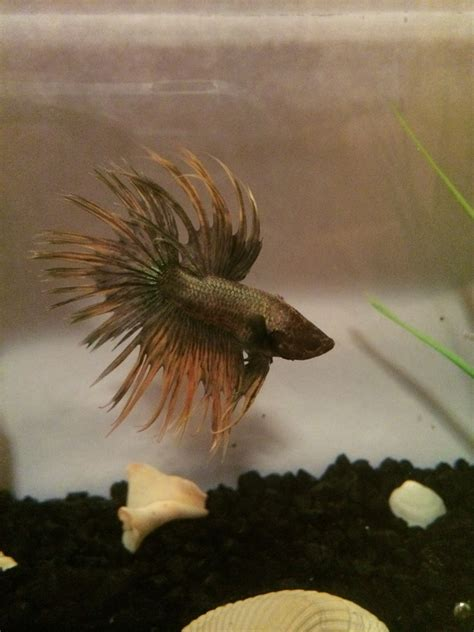 betta  changing colors
