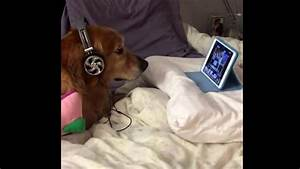 Dog Who's Scared Of Fireworks Wears Headphones & Watches ...