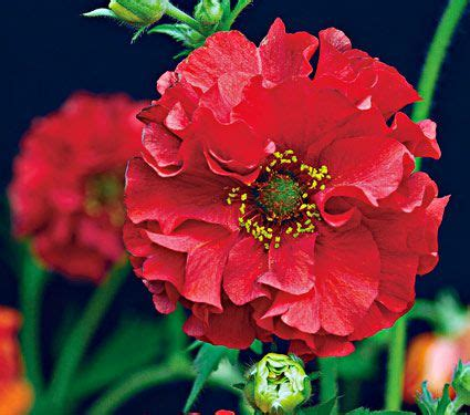 geum chiloense red dragon white flower farm