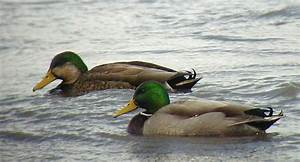 What kindof duck is this? Mallard color phase? : The Honey ...