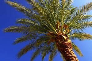Palmen Für Drinnen : dattelpalme pflege ~ Bigdaddyawards.com Haus und Dekorationen