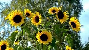 Sonnenblume Im Topf : sonnenblume gartennatur ~ Orissabook.com Haus und Dekorationen