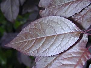 Prunus Cerasifera Cv  U0026 39 Atropurpurea U0026 39