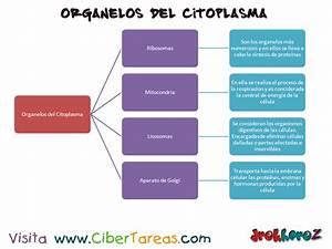 Función de los Organelos del Citoplasma Ciencias de la Salud 1 CiberTareas