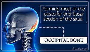 Anatomy And Function Of The Occipital Bone Explained With