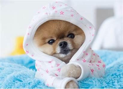 Adorable Dogs Jiffpom Jobs Excruciatingly Dog Jiff