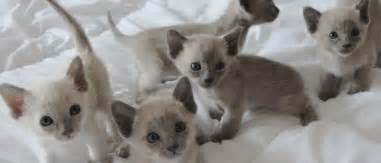 where to buy cat contact tonkinese kittens