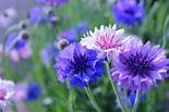 ヤグルマギク(Centaurea 矢車菊)の特徴と花言葉 | 四季の花たち
