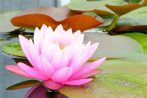 lotus flower color meanings flowers that represent flower meaning