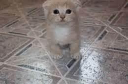 munchkin cat price scottish fold munchkin cat price munchkin cats