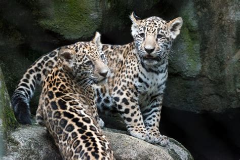 Houston Zoo's Baby Jaguars Are Already Stealing Hearts