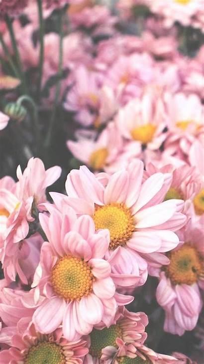 Flowers Iphone Flower Daisy