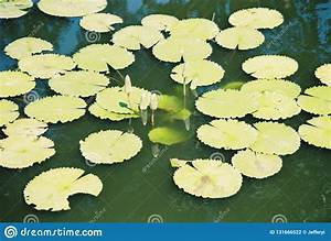 Leaf Of Water Lily On The Water Stock Photo