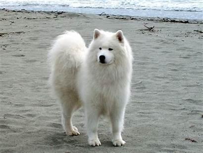Samoyed Dog Dogs Ocean Near Breed Puppies
