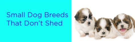 Breeds Of That Don T Shed by Small Breeds That Don T Shed And The One Way To Make Sure