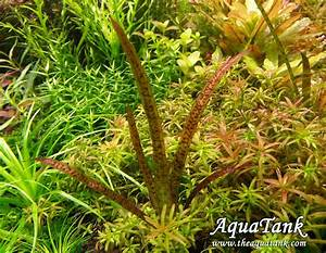 """Vallisneria Spiralis """" Leopard"""" aquarium plant   AquaTank ..."""