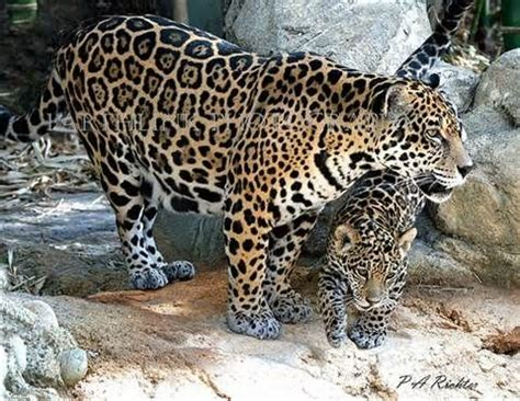How Are Jaguars Endangered by 1000 Images About Endangered Vulnerable And Threatened