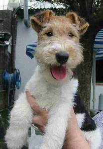 fox terrier - I just love those scruffy faces | For the ...