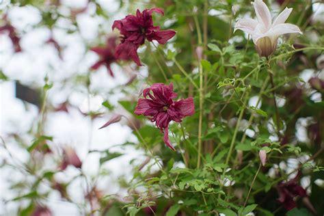 Clematis 'Rosalyn' - The English Garden