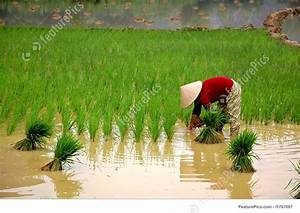 Growing Rice On The Field Stock Picture I1767097 At