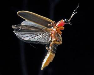 This is a lightning bug, or a firefly. Fireflies stay ...