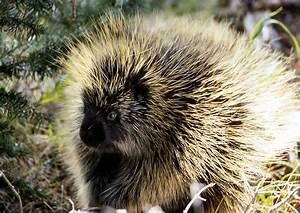 File:Porcupine NPS11952.jpg - Wikimedia Commons