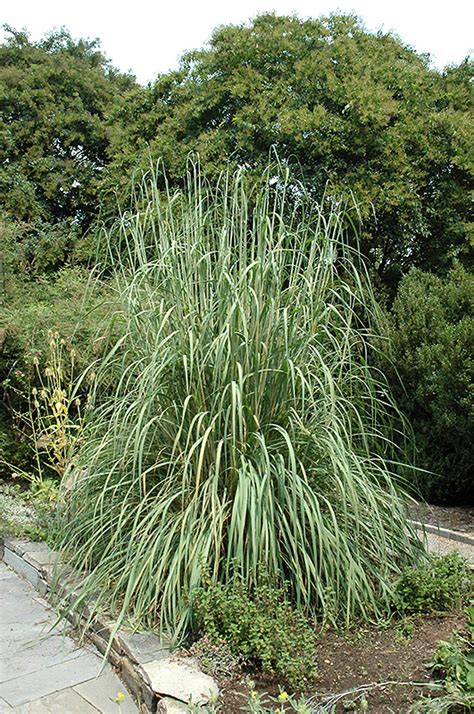 hardy grasses for the garden hardy pas grass erianthus ravennae in denver centennial littleton aurora parker colorado co