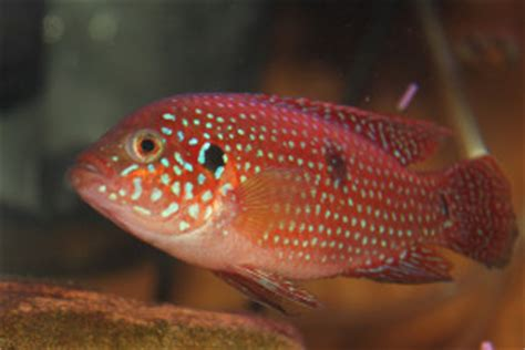 red jewel cichlid hemichromis bimaculatus tropical