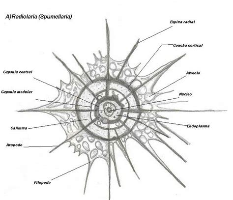 radiolaria  spencerwizard  deviantart