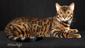 50 Most Adorable Bengal Cat Pictures And Images